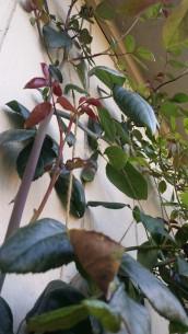 tAB - Heirloom Roses (6)